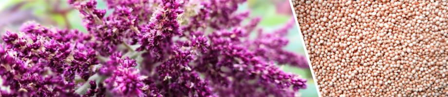 amarantus - ryhenka.com ZDROWIE od KUCHNI